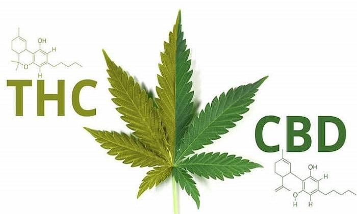 В чем разница CBD и THC сортов марихуаны?